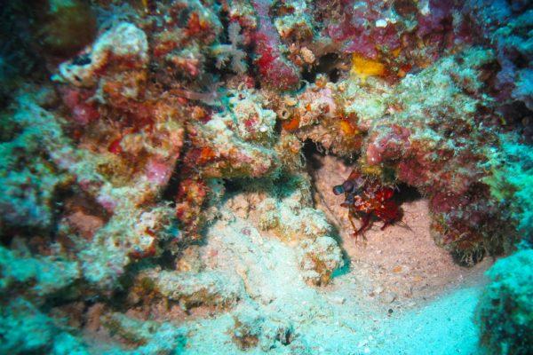 Fangschreckenkrebs Lombok